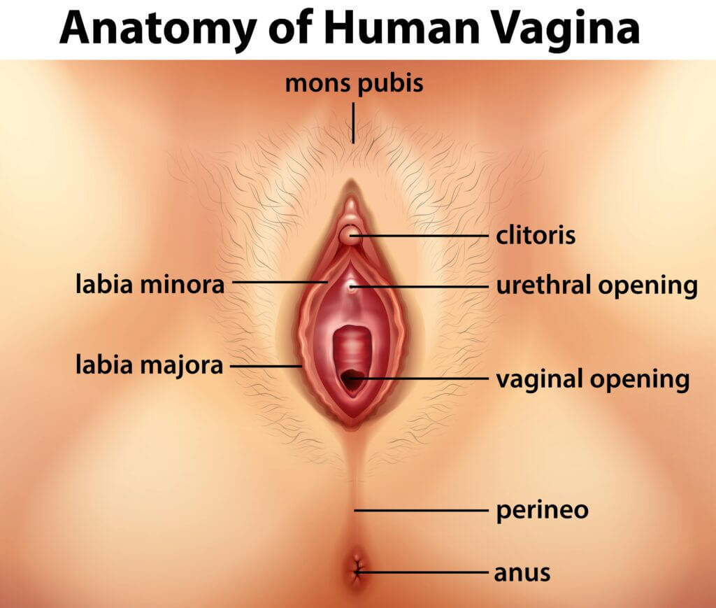 This image has an empty alt attribute; its file name is Anatomy-of-Human-Vagina-min-4-1024x869.jpg